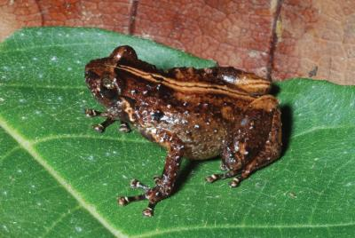 This image shows the news species Oreophryne cameroni from Keki Lodge, Adelbert Mountain Range. Credit: Fred Kraus