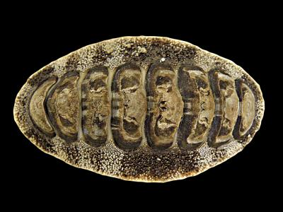 This image shows a top view of the eight-shelled chiton Acanthopleura japonica (Polyplacophora, Mollusca). Credit: Copyright: Maik Scherholz