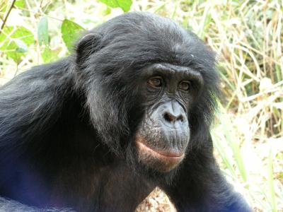 A recent range-wide study of the bonobo conducted by University of Georgia, University of Maryland, WCS, the Congolese Wildlife Authority, and other groups has found that the endangered great ape is quickly losing space to human populations in the Democratic Republic of Congo, the only country where the bonobo is found. Credit: Crispin Mahamba/Wildlife Conservation Society-DRC Program.