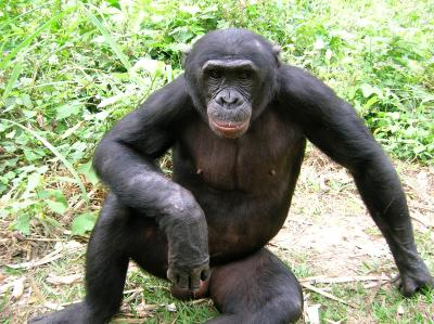Smaller than the common chimpanzee, the bonobo (formerly the pygmy chimpanzee) is losing vital habitat due to both forest fragmentation and poaching. Credit: Crispin Mahamba/Wildlife Conservation Society-DRC Program.