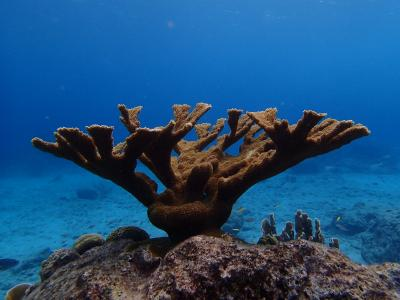 This is a photo of elkhorn coral (Acropora palmata). Credit: Jörg Wiedenmann