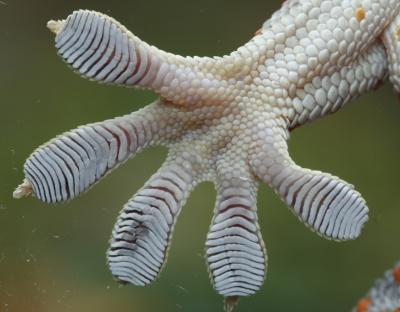 Without decades of basic research on unusual animal adaptations, including the anatomy of gecko feet and toes, scientists would miss opportunities to develop innovations and applications of great potential benefit in medicine, agriculture, industry and technology, biologists argue. Credit: University of Massachusetts Amherst