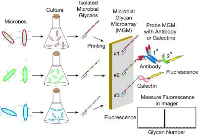 This is a schematic of microbial glycan arrays. Credit: Stowell et al, Nature Chem Bio (2014)